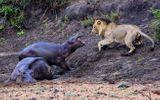 Video: Đi kiếm ăn đơn độc hà mã bị bầy sư tử phục kích