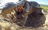 Video: Cận cảnh quá trình cá sấu sông Nile ngậm đàn con mới nở thả xuống sông