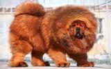 Cận cảnh loài lai giữa ngao Tây Tạng và sói núi