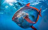 Video-Hot -  Video: Cận cảnh loài cá máu nóng duy nhất trên thế giới