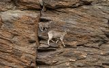 Video: Đàn cừu hoang to lớn gây kinh ngạc khi có thể leo dọc vách đá dựng đứng trên dãy Himalaya