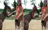 """Kangaroo hôn tay rồi không ngừng nài nỉ xin lỗi bạn gây """"sốt"""""""