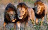 Video-Hot - Video: Mải mê săn mồi đàn sư tử ngã xuống giếng và cái kết bất ngờ