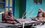 Video-Hot - Đười ươi Borneo hoang dã dùng cưa thành thạo xẻ cành cây