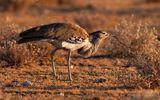 Kỳ lạ: Nặng tới 18 kg nhưng loài chim ở châu Phi vẫn cất cánh bay nhẹ nhàng