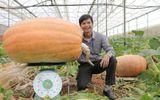 """Cận cảnh quả bí ngô """"siêu to khổng lồ"""", nặng tới 126,6kg tại Việt Nam"""
