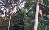 Video: Cố cứu đồng loại bị điện giật, đàn khỉ bị chết theo