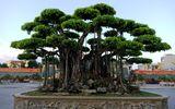 Kinh doanh - Cây sanh cổ ở Thanh Hóa được khách Nhật định giá hơn 20 triệu USD khiến nhiều người choáng váng
