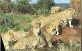 Video-Hot - Video: Chó tấn công đàn sư tử và cái kết bất ngờ
