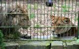 Tin thế giới - Chàng trai nhảy qua hàng rào để vào chuồng nằm cùng sư tử dù được can ngăn