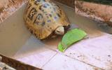 Tin trong nước - Bắt được rùa có màu lạ ở Bình Dương
