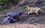 Video-Hot - Video: Hà mã con dũng cảm tấn công sư tử, bảo vệ mẹ bị bệnh