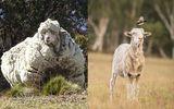 """Tin thế giới - Chú cừu Chris nổi tiếng với bộ lông """"khủng"""" nhất thế giới đã chết"""