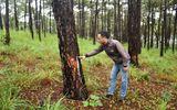 Tạm giữ nhóm đối tượng dùng thuốc diệt cỏ hủy hoại hơn 1.000 cây thông