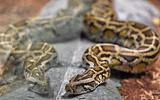 Tin tức đời sống mới nhất ngày 3/11/2019: Kinh hoàng phát hiện người phụ nữ chết trong ngôi nhà có 140 con trăn và rắn