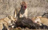 Video: 17 con sư tử háu đói xé xác 2 con trâu rừng trong đêm