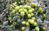 """Kinh doanh - Cận cảnh """"cụ"""" táo khổng lồ gần 60 năm tuổi ở Hà Nội, mỗi năm cho đến 3 tạ quả"""