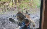 Video: Sợ hãi vì hổ Siberia khổng lồ bất ngờ vồ cậu bé sau lớp kính sở thú