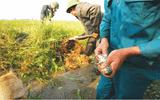 Đời sống - Chuyện ít biết về chuột ở Hà Nội
