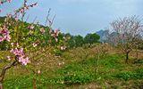 Đào đá Vân Đồn - Sắc xuân riêng vùng Đông Bắc