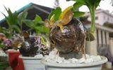 Kinh doanh - Độc đáo tạo hình bonsai chuột trên dừa xiêm khô