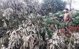 Tin trong nước - Xót xa phát hiện gần 60 cây sầu riêng bị chặt phá ngày mùng 2 Tết, thiệt hại gần 600 triệu đồng
