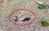 Video: Hổ ngừng tấn công, lặng lẽ thăm dò rồi bỏ đi khi thấy người đàn ông giả chết