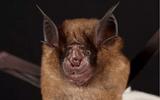 WHO: Covid-19 có liên quan đến chủng virus corona trong loài dơi tai to