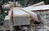 """Điều tra làm rõ vụ 12 cây gỗ quý bị """"lâm tặc"""" đốn hạ"""