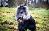 Video: Khỉ đuôi sư tử mạo hiểm tha con non xuống đất kiếm ăn để duy trì nguồn sữa
