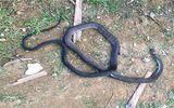 Hà Tĩnh: Đi bắt cua đồng, người phụ nữ bị rắn độc cắn tử vong