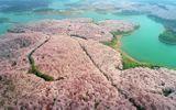 Cảnh đẹp hiếm có: 700.000 cây anh đào đồng loạt khoe sắc, đường hoa gần như không bóng người