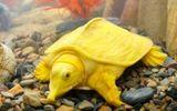 Tin trong nước - Thanh Hóa: Bắt được con vật giống ba ba, màu vàng óng rất lạ