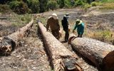 Bắt quả tang nhóm đối tượng phá rừng nội ô Đà Lạt