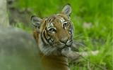Tin thế giới - Mỹ: Sở thú New York xác nhận một con hổ cái bị nhiễm Covid-19