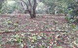 Mưa đá nặng hạt kéo dài 20 phút ở Sơn La khiến 350 tấn mận rụng kín vườn
