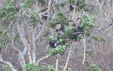 Đàn voọc quý hiếm với số lượng lớn bất ngờ xuất hiện tại rừng ven biển Ninh Thuận