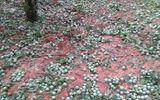 Mưa đá trắng đường ở Sơn La, mận rụng tơi tả khắp vườn
