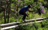Nam du khách bẻ hoa phượng tím ở Đà Lạt: Thừa nhận mình đã sai
