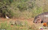 """Video: Hà mã con hiếu chiến """"tả xung hữu đột"""" giữa bầy cá sấu và trâu rừng, kết cục ra sao?"""