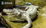 Tin thế giới - Cá sấu huyền thoại từ thời Thế chiến II qua đời vì tuổi già