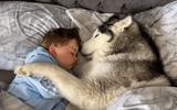 Video-Hot - Video: Lịm tim trước cảnh chó Husky không chịu rời giường vì muốn nằm cạnh em bé