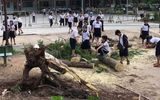 Lại thêm một cây phượng bật gốc, đổ xuống sân trường tiểu học tại Bình Dương