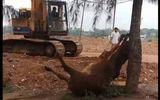 Tin trong nước - Thanh Hóa: Điều tra vụ 2 người lạ mặt xuất hiện, 4 con bò bỗng sùi bọt mép, lăn đùng ra chết