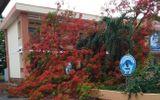 Tin trong nước - Lại thêm một cây phượng ở trường tiểu học ngã bật gốc sau mưa lớn