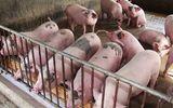 Thị trường - Thịt lợn hơi vụt tăng trở lại, có nơi vượt qua ngưỡng 100.000 đồng/kg
