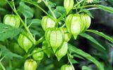 """Trong vườn trồng cây này chứng tỏ nhà có """"thảo dược quý"""", công dụng chữa bách bệnh"""