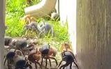 Video-Hot - Video: Cua khổng lồ lũ lượt bò qua vườn nhà dân sau trận mưa lớn