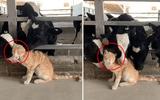 """Video: Chú mèo đáng yêu được đàn bò sữa thi nhau """"nựng"""""""