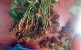Vườn vắng không người canh, gã trai lẻn vào nhổ trộm 74 cây sâm Ngọc Linh